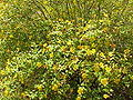 Hypericum moserianum1.jpg