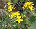 Hypericum pulchrum - top (aka).jpg