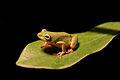 Hyperolius cinnamomeoventris; Cinnamon-bellied Reed Frog2.jpg