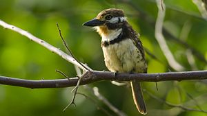 Russet-throated puffbird - Image: Hypnelus ruficollis Russet throated Puffbird