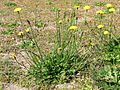 Hypochaeris radicata plant3 (14630477894).jpg