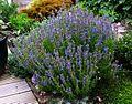 Hyssopus officinalis aristatus - Flickr - peganum.jpg