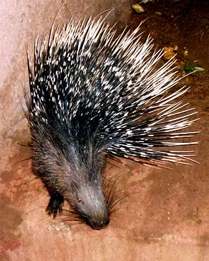 Indian crested porcupine - Image: Hystrix indica (Indian Crested Porcupine) at IG Zoological park, Visakhapatnam 03