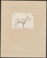 Ibex nubiana - 1700-1880 - Print - Iconographia Zoologica - Special Collections University of Amsterdam - UBA01 IZ21300175.tif