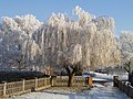 Ice White Willow. - panoramio.jpg