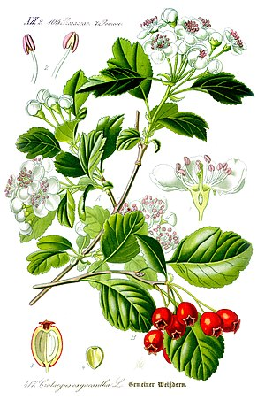 Illustration Crataegus laevigata1.jpg