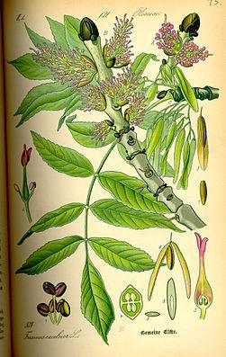 Gemeine Esche (Fraxinus excelsior)