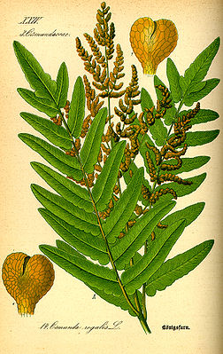Königsfarn (Osmunda regalis), Illustration.