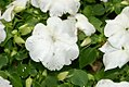 Impatiens Super Elfin White 0zz.jpg
