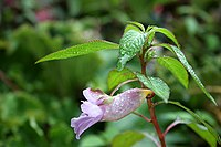 Impatiens arguta (SuperFantastic) 001