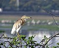 Indian Pond Heron at a pond in Chennai 1.jpg
