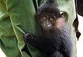 Infant black crested mangabey (Lophocebus aterrimus) in Democratic Republic of the Congo.JPG