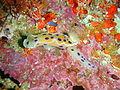 Ink spot nudibranch at Partridge Point P7190611.JPG