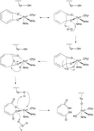 Dioxygenase - Figure 2. Intradiol Ring Cleavage