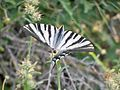 Iphiclides podalirius feisthamelii (Papilionidae) (Iberian scarce swallowtail) - (imago), Málaga, Spain.jpg