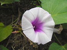Ipomoea batatas (Sweet Potato) Flower.jpg