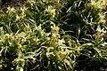 Iris-bucharica-habitus.JPG