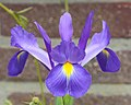 Iris (winterhard).JPG