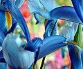 Iris morn - Flickr - michale.jpg