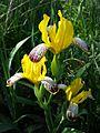 Iris variegata sl17.jpg