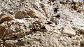 Israel. Tristram's starling (15792570289).jpg