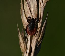 https://upload.wikimedia.org/wikipedia/commons/thumb/3/3f/Ixodes_scapularis_%28Deer_Tick%29_-_Flickr_-_S._Rae.jpg/256px-Ixodes_scapularis_%28Deer_Tick%29_-_Flickr_-_S._Rae.jpg