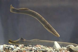 Lamprey - A European river lamprey (Lampetra fluviatilis)