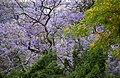 Jacaranda (5835972297).jpg