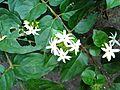 Jasmine .jpg