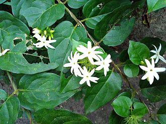 Jasmine - Common jasmine