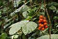 Jateorhiza macrantha01.jpg