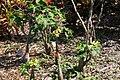 Jatropha podagrica 12zz.jpg
