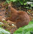 Jielbeaumadier ecureuil roux profil cim praha 2010.jpeg