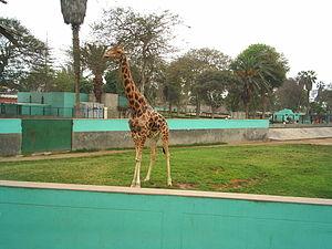 Parque de las Leyendas - Image: Jirafa
