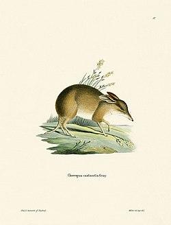 Illustration d'un bandicoot à pieds de cochon.