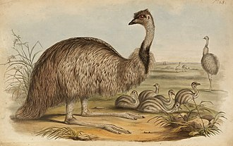 The Birds of Australia (Gould) - The Emu from The Birds of Australia.