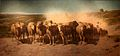 Joudan-Troupeau de moutons en avant-garde du troupeau.jpg