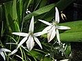 Jumellea sagittata -日本大阪鮮花競放館 Osaka Sakuya Konohana Kan, Japan- (41355915294).jpg