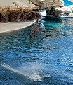 Jumping dolphin at Farglory Ocean Park 20080710.jpg
