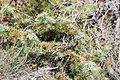 Juniperus communis-Genévrier commun-20140730.jpg