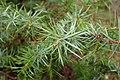 Juniperus oxycedrus kz15 (Morocco).jpg