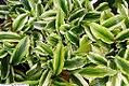 Kaempferia gilbertii 3-D 1zz.jpg