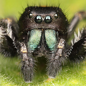 Kaldari Phidippus johnsoni male portrait.jpg