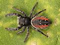 Kaldari Phidippus johnsoni subadult female 01.jpg