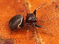 Kaldari Zygoballus sexpunctatus female 02.jpg