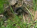 Karjantau viper.jpg