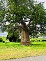Kavimba baobab tree.jpg