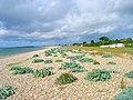 Kelp, Aldwick Beach - geograph.org.uk - 500990.jpg