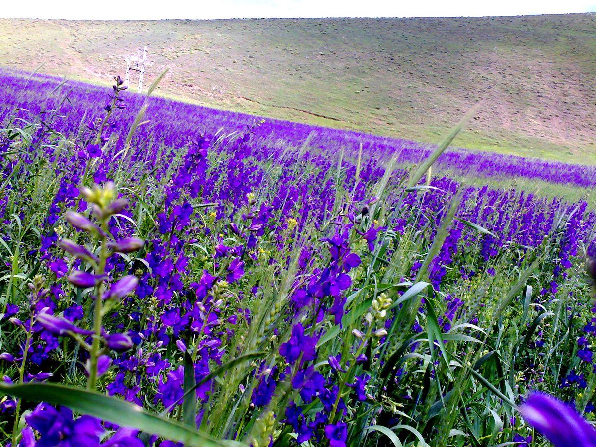 Blue Flower Wikipedia