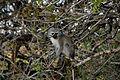 Kigelia africana with monkey-003.jpg